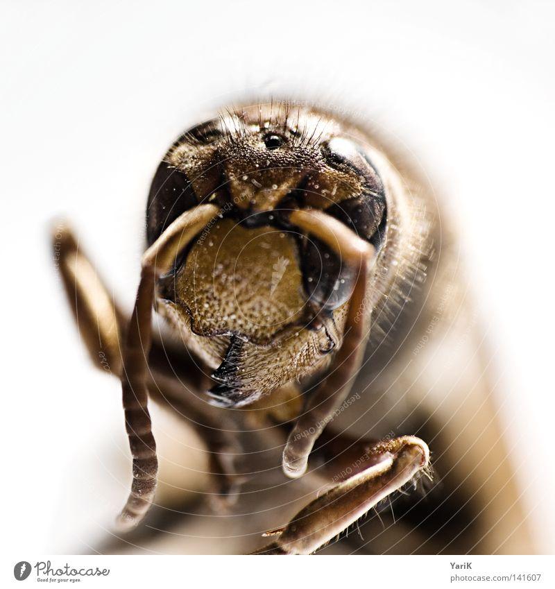 killer-portait Makroaufnahme Hornissen Wespen Detailaufnahme Insekt krabbeln Fühler gefährlich Auge Beine klein dünn Kontrast braun weiß Tiefenschärfe