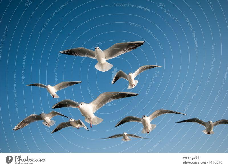 Formationsflug Tier Wildtier Vogel Möwe Möwenvögel Tiergruppe Schwarm fliegen ästhetisch elegant nah maritim schön blau grau weiß Meeresvogel Himmel himmelwärts
