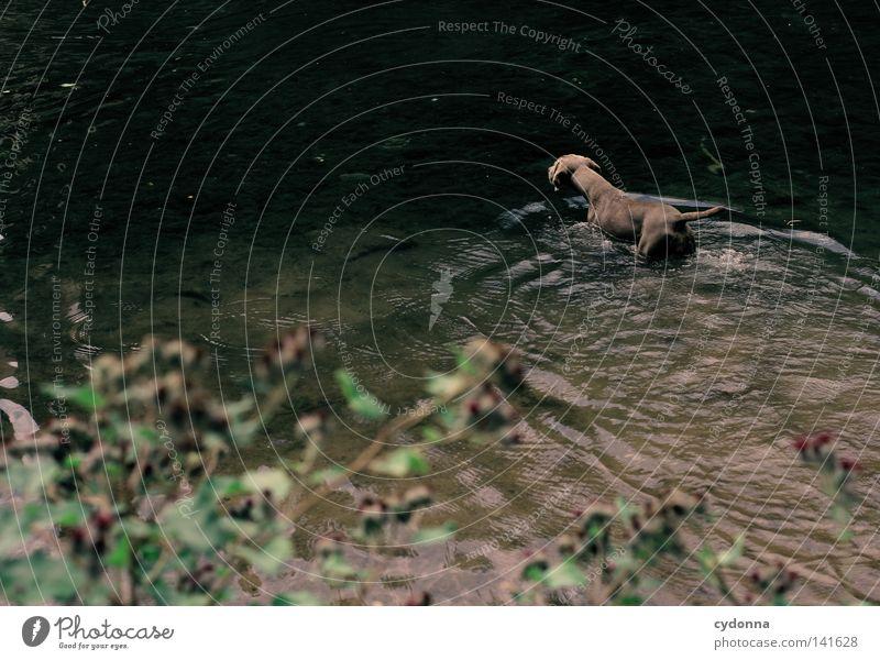 Abkühlung [Weimar08] Weimaraner Hund Tier tierisch nass Wasser Teich Fluss Wellen spritzen Kühlung kühlen Große Klette Pflanze grün Fell tief dunkel