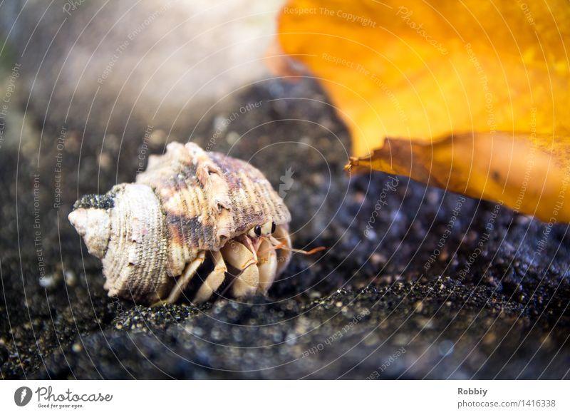 Auf'm Weg Tier Strand Meer Wildtier Krabbe Krebstier Einsiedlerkrebs Muschel Muschelschale 1 Bewegung krabbeln natürlich Erholung Ferien & Urlaub & Reisen