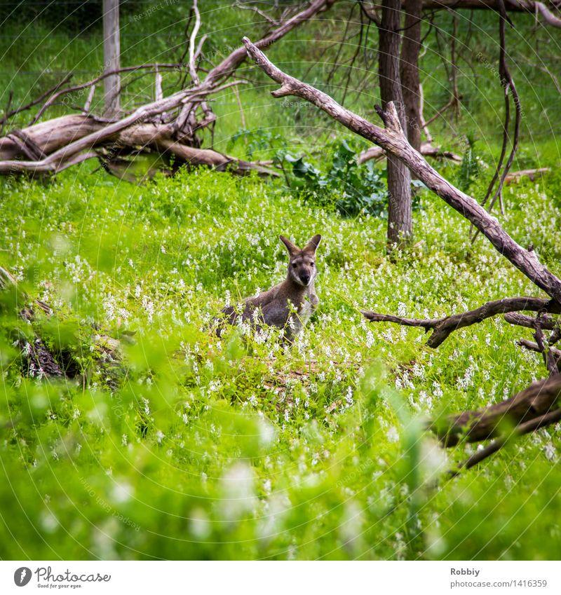 Blickkontakt Ferien & Urlaub & Reisen Ausflug Expedition Camping Umwelt Natur Pflanze Frühling Sommer Garten Park Wiese Urwald Australien Tier Wildtier Zoo