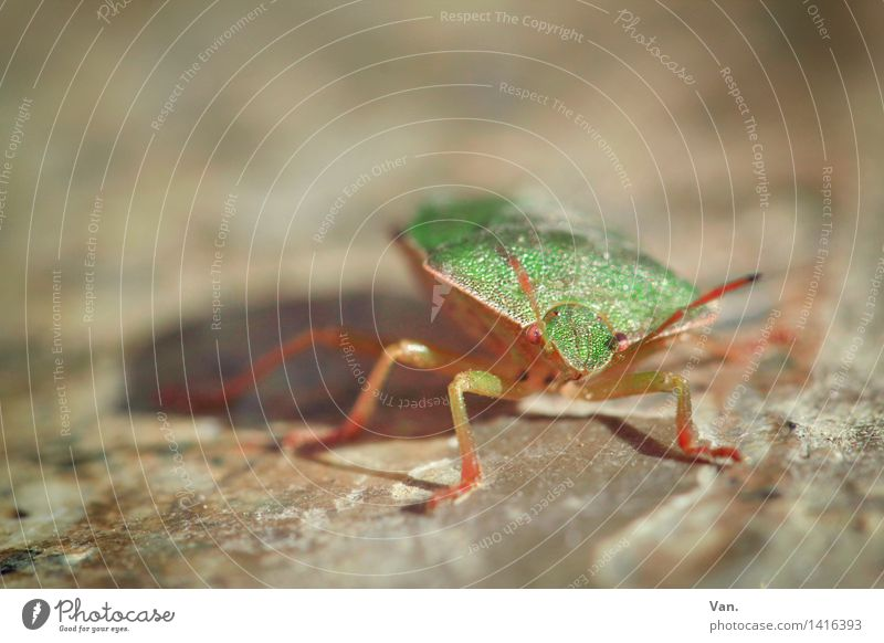 auf der Mauer, auf der Lauer... Natur Tier Insekt Wanze 1 klein braun grün Stein Käfer Farbfoto mehrfarbig Außenaufnahme Nahaufnahme Makroaufnahme Menschenleer