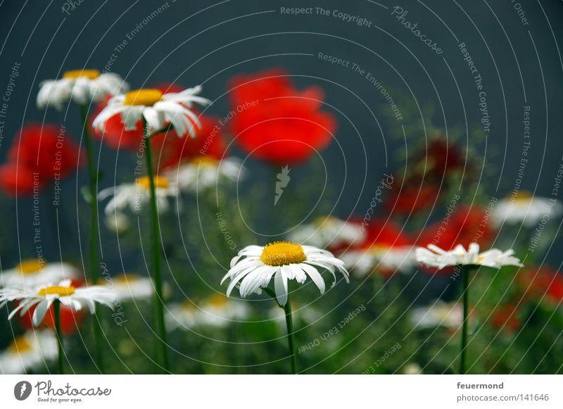 Sommerwonne Mohn rot Margerite Blume Blumenwiese Gartenarbeit Blüte Gras Schönes Wetter Freude