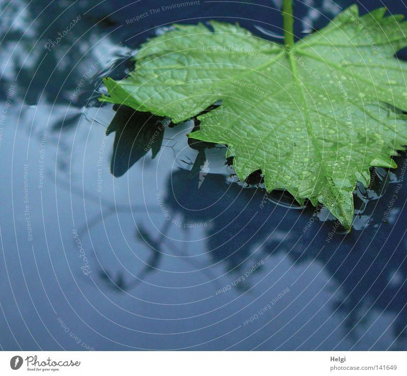 grünes Weinblatt liegt nach dem Regen in einer Wasserpfütze nass Gewitter Gewitterregen Blatt Gefäße fallen liegen Wassertropfen Pfütze Ranke