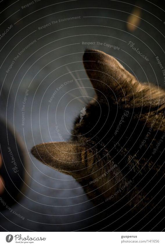 einsatzhinterdielöffel Katze Löffel hören wahrnehmen Sinnesorgane Wetter Schnurren Sense Makroaufnahme Nahaufnahme Säugetier Tier Hauskatze Ohr