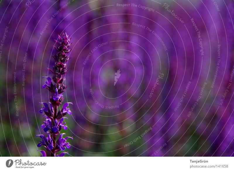 Die Farbe Lila violett Salbei Gesundheit angenehm Wellness Sträucher Unschärfe Feld Samen Blütenknospen Duft schön Sommer Pflanze Blühend Blume Heilpflanzen