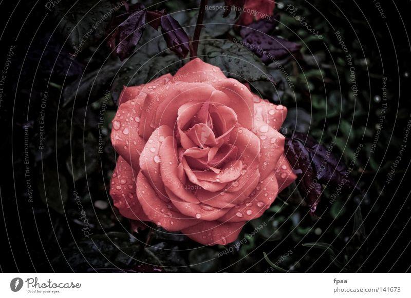 Rosige Zeiten schön Erholung Meditation Duft Hochzeit Geburtstag Trauerfeier Beerdigung Natur Pflanze Wassertropfen Regen Blume Rose Blatt Blüte rosa rot