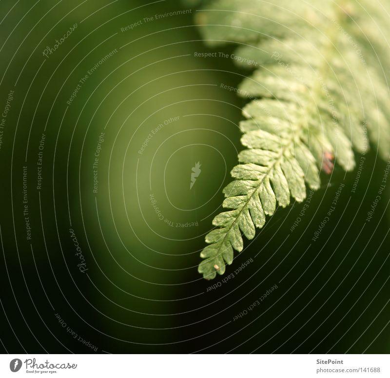 Farnspitze grün Pflanze dunkel Ecke Echte Farne
