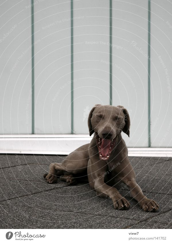 RaubHund [Weimar08] schön Erholung Auge Stein Hintergrundbild liegen Boden Bodenbelag Ohr Tiergesicht Fell Gebiss Müdigkeit Langeweile Säugetier