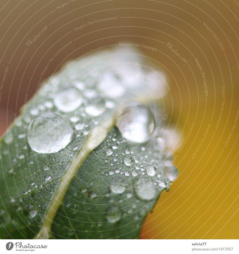 Tropfenperlen Natur Tier Wasser Wassertropfen Sommer Herbst schlechtes Wetter Regen Pflanze Blatt berühren glänzend ästhetisch frisch nass weich braun gold grün