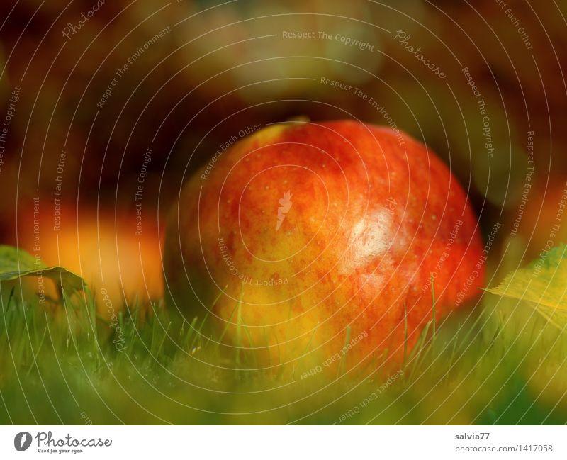 Bio-Apfel Frucht Natur Pflanze Erde Herbst Gras Blatt Herbstfärbung Garten gut lecker natürlich positiv rund gelb gold grün orange rot genießen fruchtig saftig