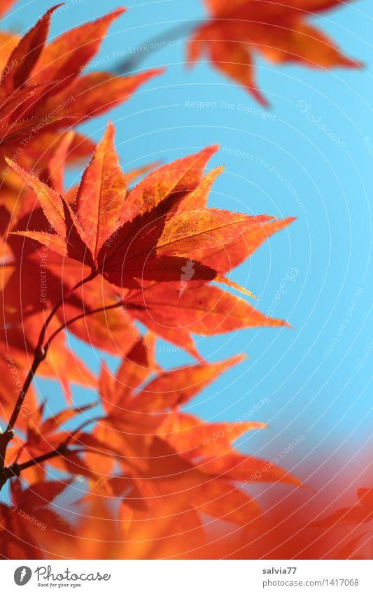 Der Sonne entgegen Umwelt Natur Tier Himmel Herbst Baum Blatt Herbstfärbung Ahornzweig Park leuchten ästhetisch blau orange Warmherzigkeit Design Hoffnung ruhig