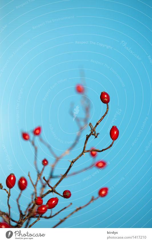 Hagebuttenintermezzo Wolkenloser Himmel Herbst Schönes Wetter Pflanze Wildpflanze Hundsrose leuchten ästhetisch authentisch Freundlichkeit glänzend positiv blau