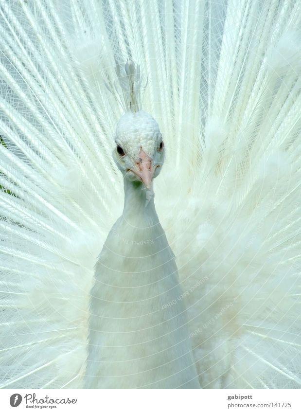 PfrauFau Gedeckte Farben Nahaufnahme Menschenleer Tierporträt Blick Blick nach vorn Reichtum elegant schön Kommunion Braut Federschmuck Vogel Flügel Pfau