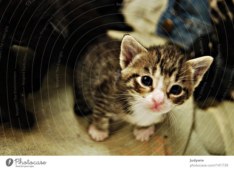 Kulleraugenkätzchen Katze klein Katzenbaby Auge rosa blau unschuldig süß niedlich kulleräugig Hauskatze verkatert Säugetier Angst Panik Vertrauen getigert