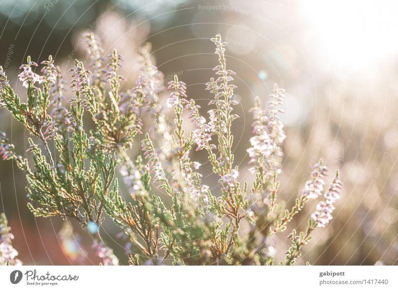 Sonniger statt schwarzer Freitag Natur Landschaft Pflanze Sonne Sonnenlicht Sommer Herbst Klima Wetter Schönes Wetter Sträucher Heidekrautgewächse Bergheide