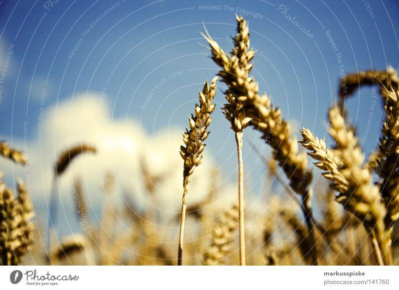 Genverändert ? Biotechnologie Ackerbau Ähren Feld Jahreszeiten Landwirtschaft Pflanze Himmel Sommer Weizen Wiese Saatgut Aussaat Roggen Gerste Manipulation
