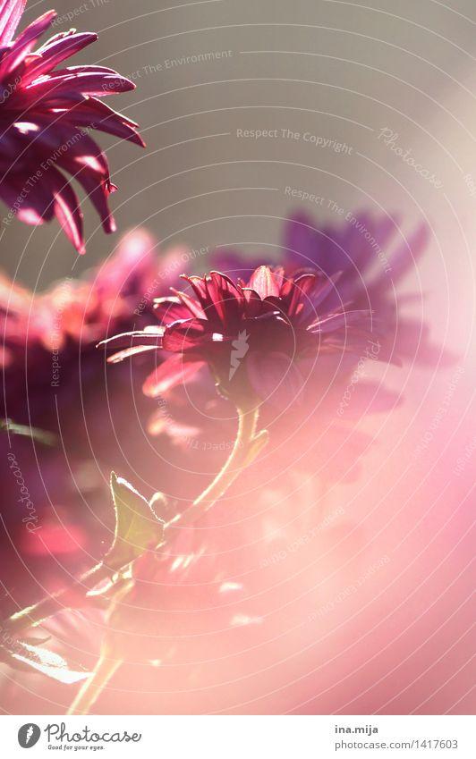 rosa Natur Pflanze schön Farbe Sommer Blume Blüte Herbst Frühling Wachstum ästhetisch Blühend zart Blumenstrauß Duft