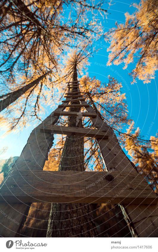 Steil nach oben Wolkenloser Himmel Herbst Schönes Wetter Pflanze Lärche Baum Leitersprosse Holz außergewöhnlich mehrfarbig aufwärts Holzleiter Herbstfärbung