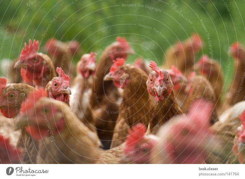 Hühnermob Haushuhn laut Feder weich leicht Gehege Schnabel Spitze Gier Futterneid Geier eng Außenaufnahme Vogel Freilandgehege Ei Demeter Mob große Menge