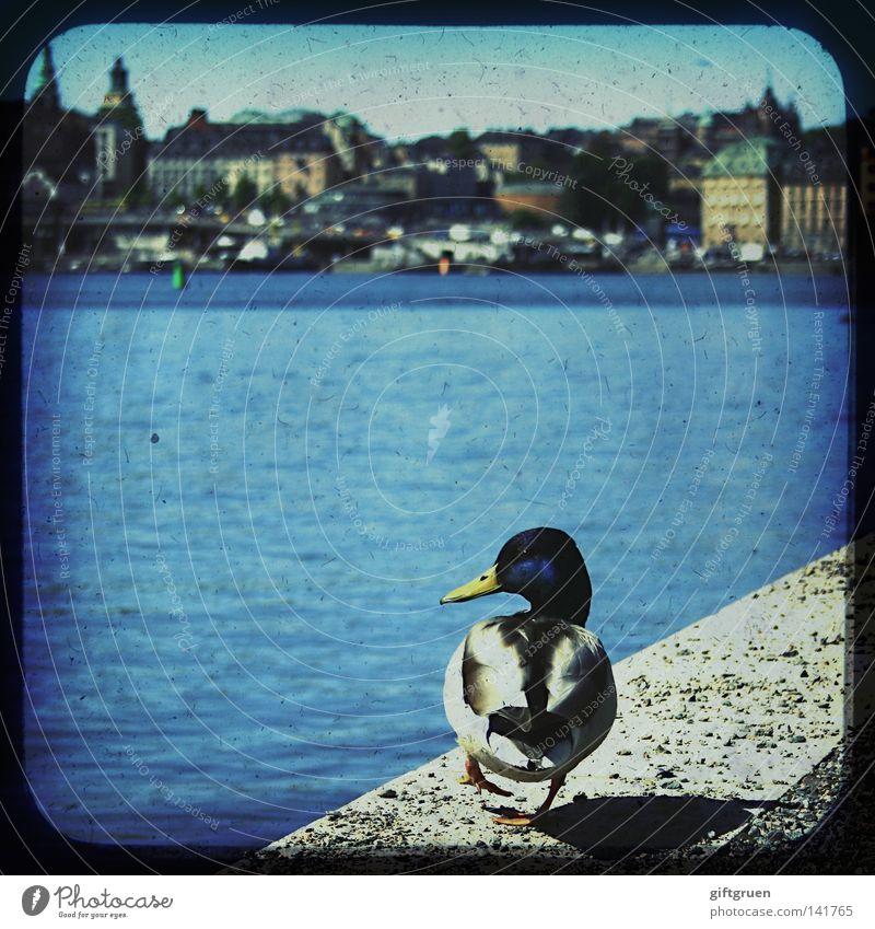 duck on dock Stockholm Vogel Haus Tourismus Tourist Dock historisch Wasser Ente Hafen Skyline Schweden sweden tourism bird sit swim houses ttv