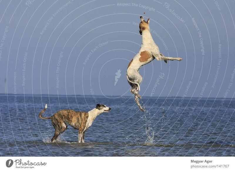 Magyar Agar fliegender Windhund Freude Säugetier Rennsport Hunderennen Tiertraining Windhundrennen