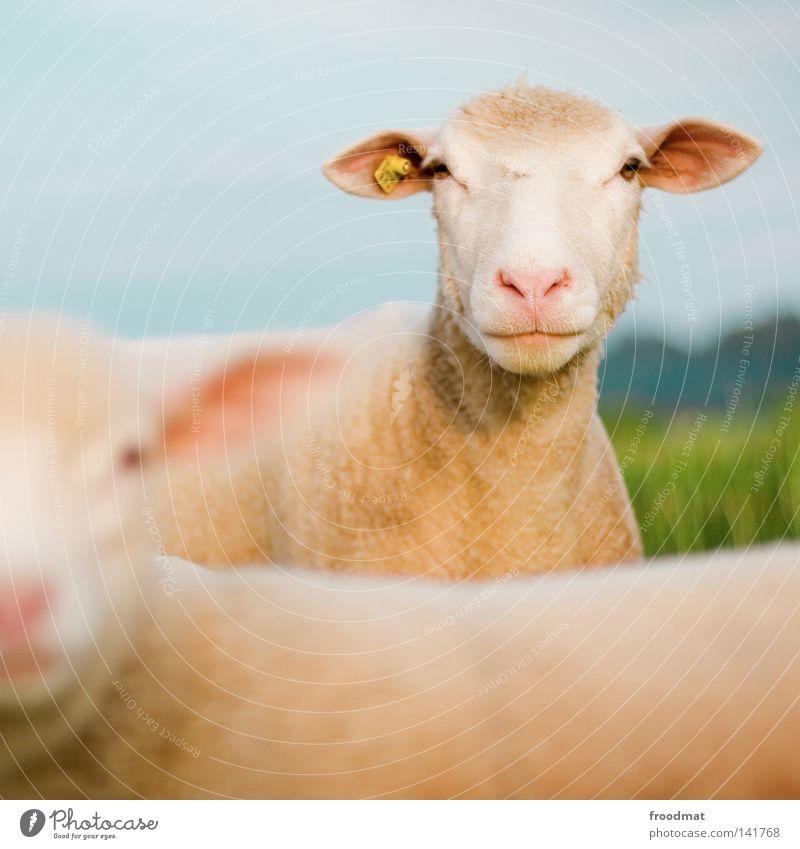 scha(r)f Natur Sommer Tier Wiese Haare & Frisuren lustig Nase Kommunizieren Ohr Landwirtschaft Quadrat Schaf Säugetier Haustier Wolle Lamm