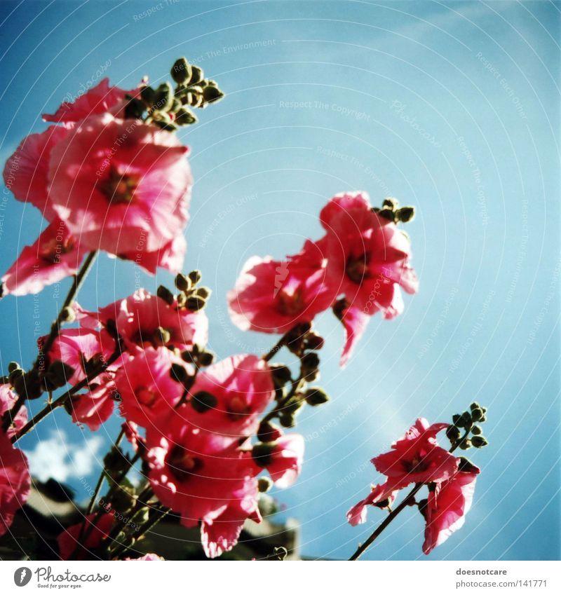 anything. Pflanze Himmel Blume Blüte rosa Stockrose Mittelformat analog Rollfilm Stockmalve Althaea rosea Natur blau Schönes Wetter Sommer Farbfoto mehrfarbig