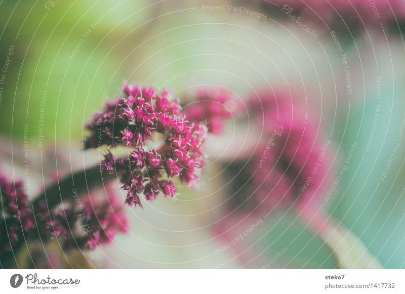 Herbstfärbung Pflanze Blüte Blühend grün rot zart winzig Gedeckte Farben Makroaufnahme Menschenleer Textfreiraum rechts Textfreiraum oben Freisteller