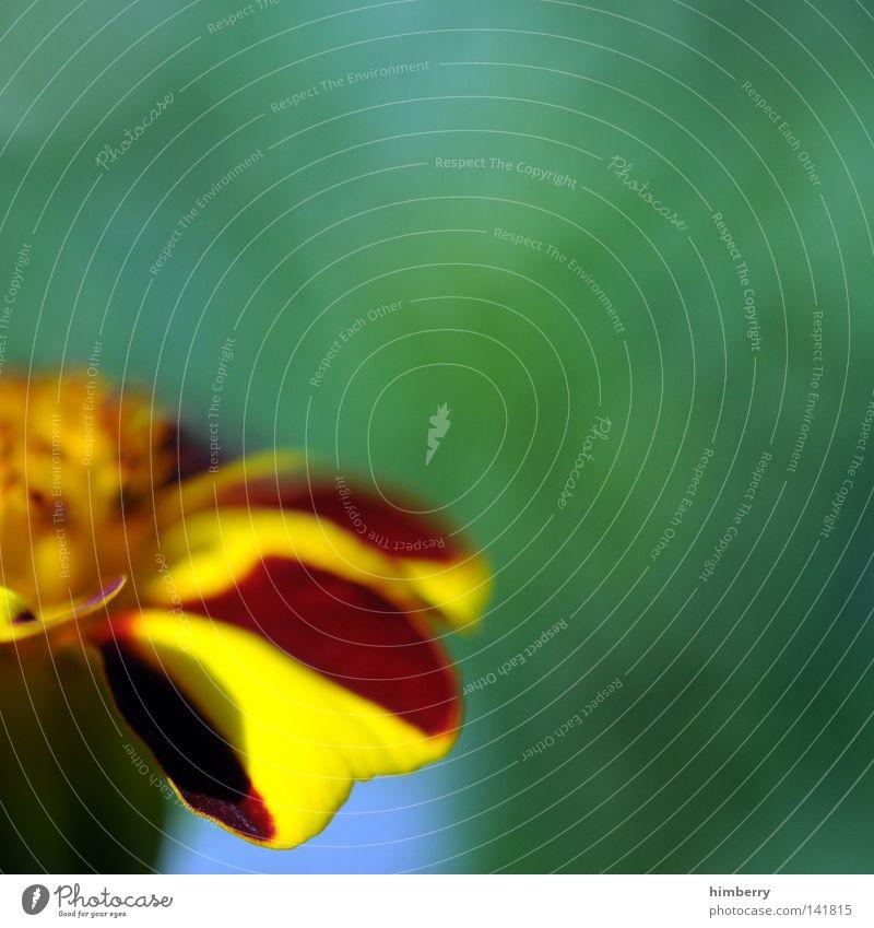 halbzeit Blume Makroaufnahme Blüte Detailaufnahme Blattknospe Blütenknospen Blütenblatt Botanik Natur Sommer Frühling frisch Gartenbau Wachstum Pflanze rot