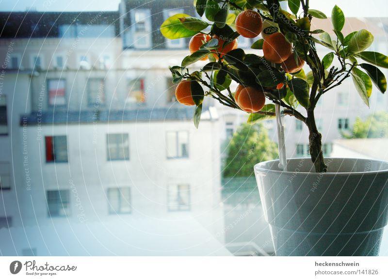 träumendes Bäumchen Baum Pflanze Haus Straße Fenster Freiheit träumen Orange Glas Wohnung Frucht frei Wachstum Hoffnung Dach Dekoration & Verzierung