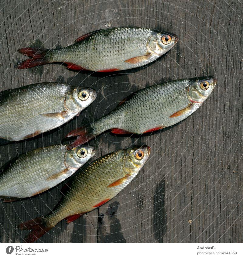 Brassen & co. Fischereiwirtschaft fischig Fischmarkt Köderfisch Rotauge Karpfen Kieme Steg Holz schleimig fischgeruch Tod Angelköder schuppig Fischauge