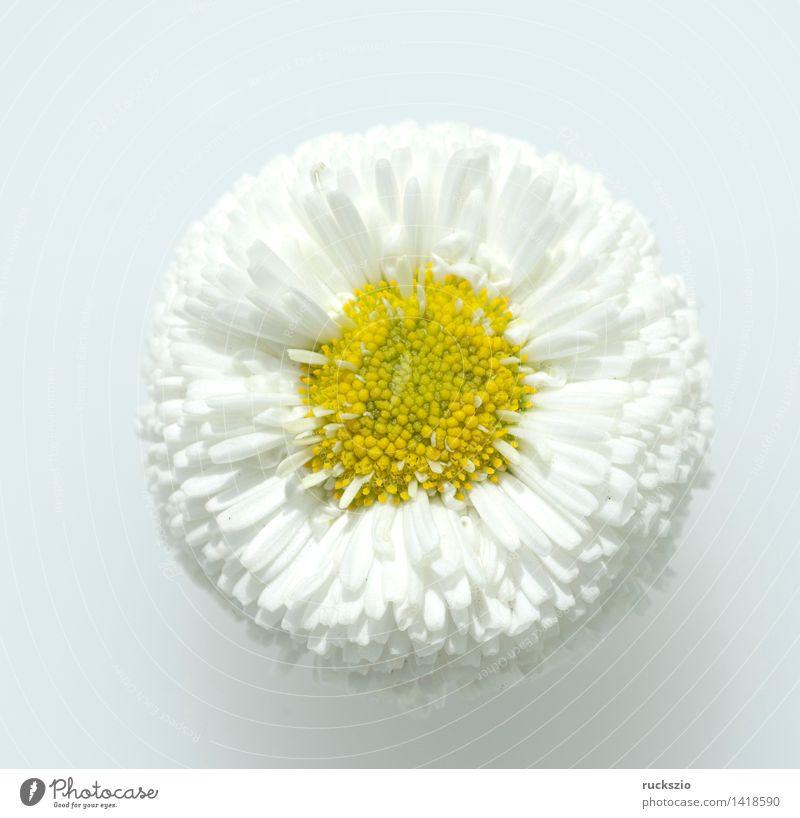 Gaensebluemchen; Bellis; Perennis; Alternativmedizin Natur Pflanze Tier Wildpflanze Blühend Gänseblümchen essbare Blueten Essblume Essblumen Blumenwiese