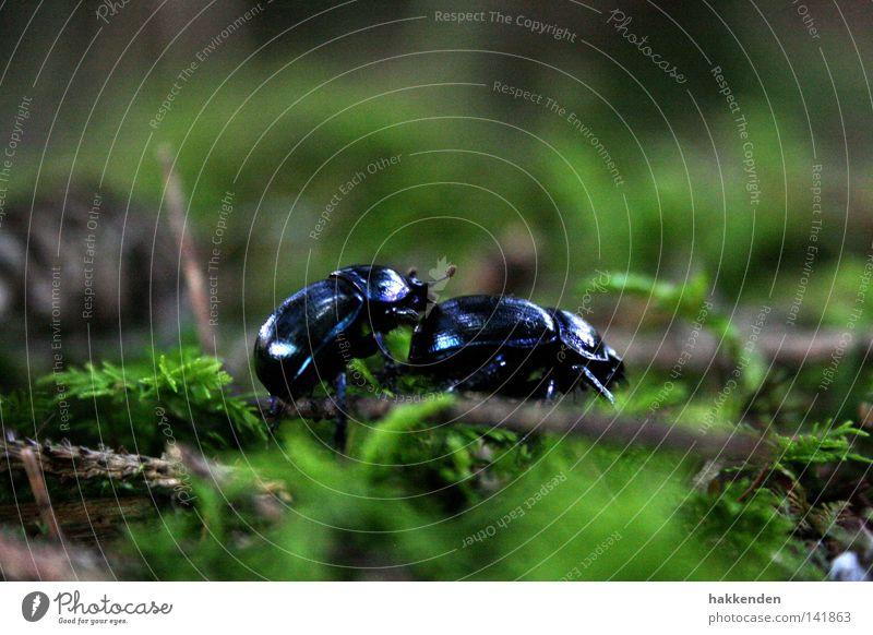 Waldmistkäfer in der Paarungszeit Natur Insekt Käfer krabbeln Boden Europa Brunft Tier Außenaufnahme Mistkäfer Anoplotrupes stercorosus Marko