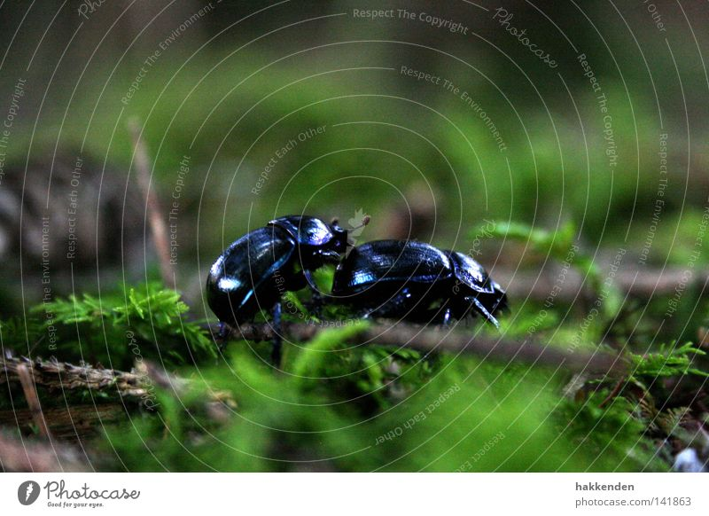 Waldmistkäfer in der Paarungszeit Natur Tier Europa Boden Insekt Käfer krabbeln Brunft