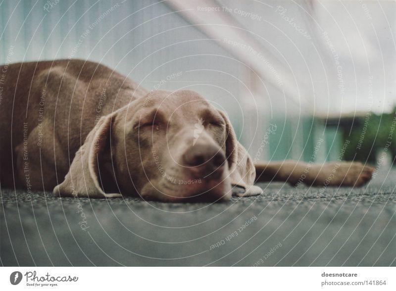 Ein Hund, der sich hinlegt, wo er will. Tier liegen schlafen niedlich Langeweile Müdigkeit Weimaraner Schnauze analog Jagdhund Säugetier tia Pause Erholung