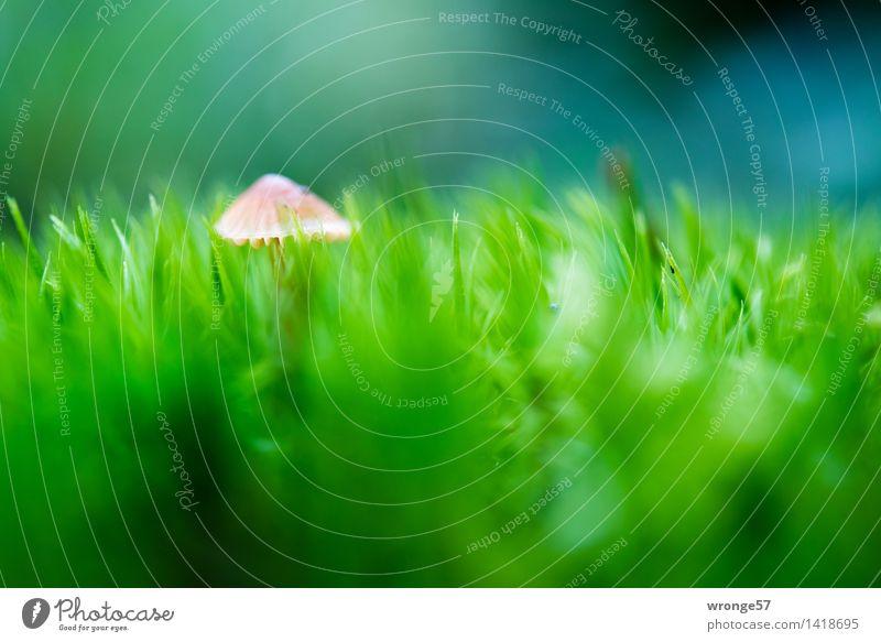 Versteckspiel Natur Pflanze Herbst Moos Wald klein blau braun grün Pilz Pilzhut winzig Moosteppich Waldboden Makroaufnahme Querformat Farbfoto mehrfarbig