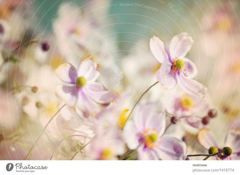 Spätsommer-Sonnenbad elegant Stil Design Natur Pflanze Herbst Schönes Wetter Blume Sträucher Blüte Wildpflanze Herbstanemone Anemomen Knollengewächse