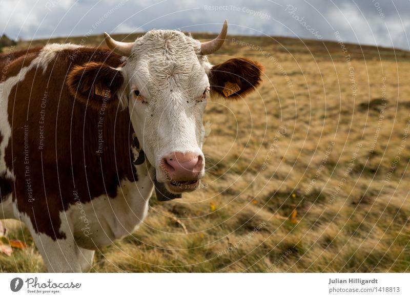 Kuh auf Weide Lifestyle Freizeit & Hobby Ferien & Urlaub & Reisen Ausflug Sommerurlaub Berge u. Gebirge wandern Umwelt Natur Landschaft Tier Nutztier 1 muskulös