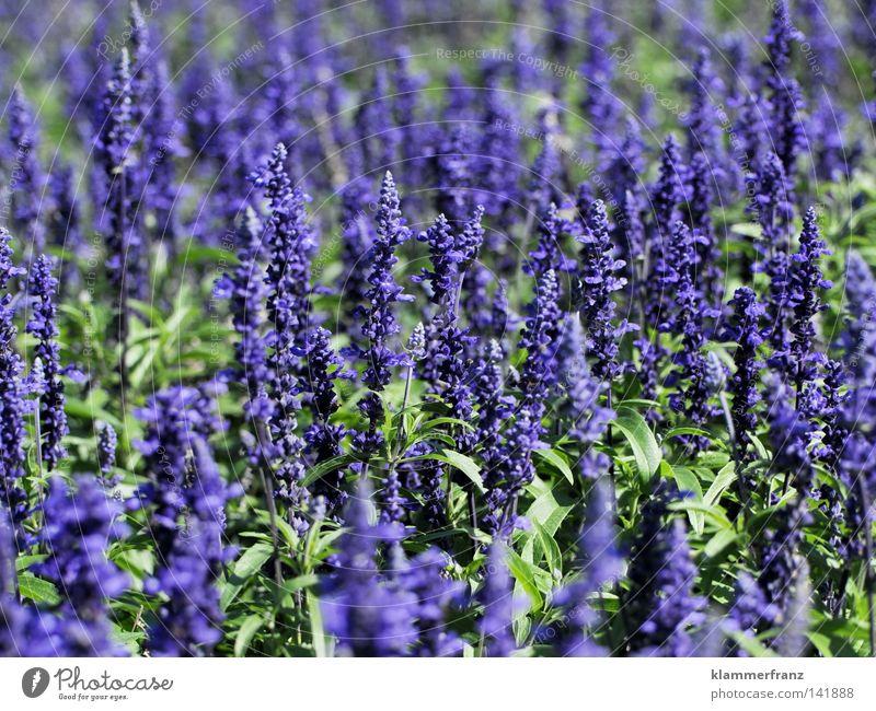 Dufte Pflanze Blume Leben Blüte Wachstum violett Mitte Geruch