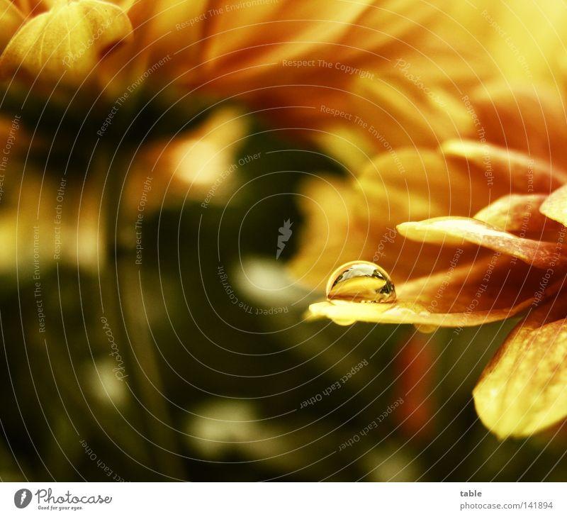 Mikrokosmos Natur Wasser Blume grün Sommer Freude gelb Leben Blüte orange Wassertropfen Balkon