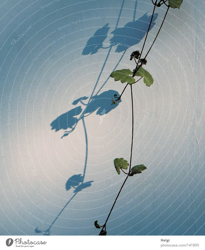 Licht und Schatten... Natur blau weiß grün Pflanze Sommer Blatt dunkel Wand Garten Mauer Park hell braun Beton Wachstum