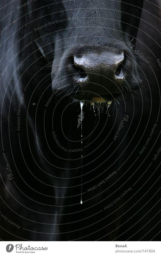 Sabber Kuh Speichel Wassertropfen Tropfen Schnauze Mund Nase Vorderseite Tiergesicht Detailaufnahme Bildausschnitt Anschnitt schwarz dunkel Kontrast Ernährung