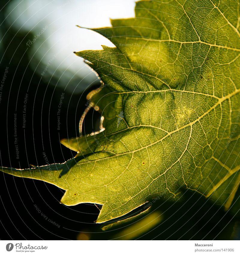 Jetzt ist Sommer Freude Leben Umwelt Natur Luft Wärme Baum Blatt Flüssigkeit Freundlichkeit heiß grün Schutz Umweltschutz Gefäße Sonnenuntergang Photosynthese