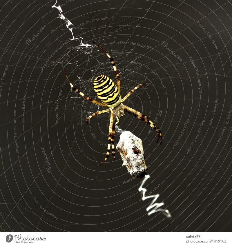 Erfolgreich schön Tier schwarz gelb außergewöhnlich ästhetisch beobachten bedrohlich Vergänglichkeit Netzwerk Wachsamkeit Jagd exotisch Fressen kämpfen