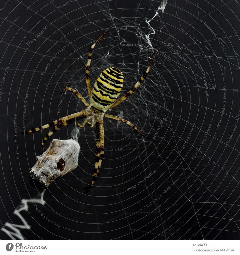 Verpackungswahn Umwelt Natur Pflanze Tier Spinne Wespenspinne 1 berühren fangen Fressen hängen krabbeln warten Aggression bedrohlich dunkel Erfolg lecker gelb