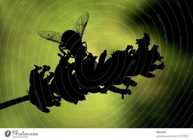 Von Bienen und Blümchen Schwebfliege Fliege Honigbiene Blüte Blume Lavendel Lavendelernte Staubfäden bestäuben Ernährung fliegen saugen Schatten Silhouette