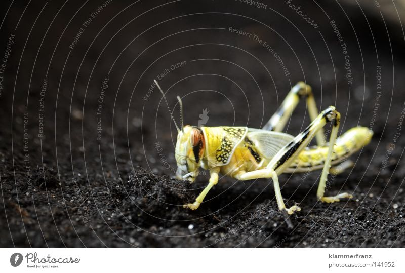 In einem unbekannten Land gelb Erde Bodenbelag Insekt Haushalt Heuschrecke