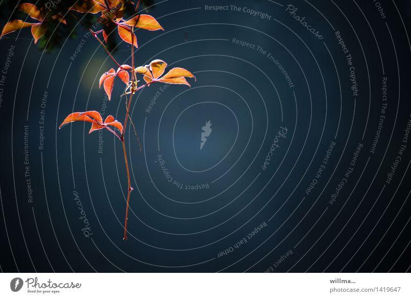 schweizer ranken | helgiland II Herbst Blatt Herbstfärbung Wilder Wein Ranke Kletterpflanzen hängen leuchten gelb rot blau Farbfoto Außenaufnahme