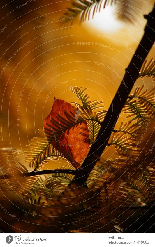 fremdgänger| helgiland II Blatt gelb Herbst braun Ast Warmherzigkeit Herbstlaub herbstlich Liebesaffäre Sumpfzypresse anlehnungsbedürftig